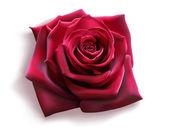 "Постер, картина, фотообои ""Red Rose (vector)"""