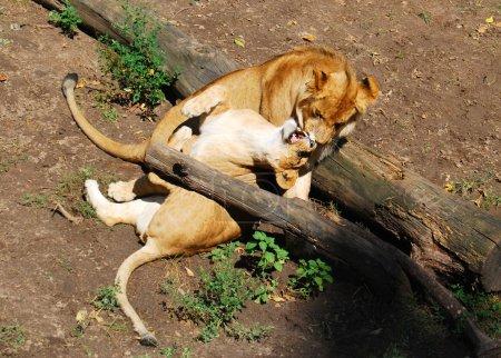 Loving family of lions