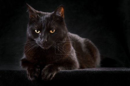 Black cat domestic animal with beautiful eyes conc...