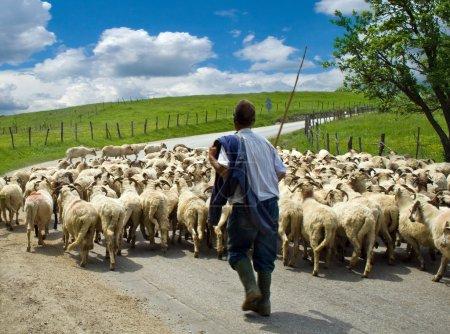 Photo pour Berger avec son troupeau de moutons, dans un village roumain - image libre de droit