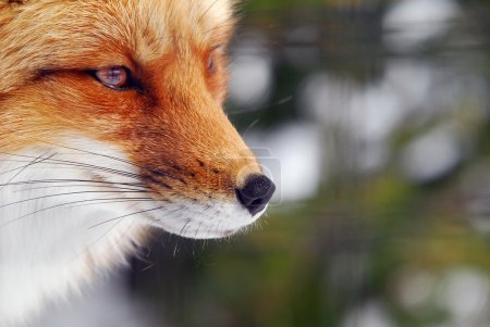 Photo pour Image gros plan d'un renard roux sauvage - image libre de droit