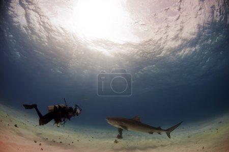 A diver photographs a tiger shark from a safe dist...