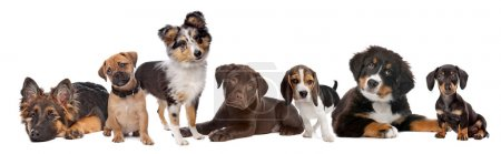 Large group of puppies on a white background