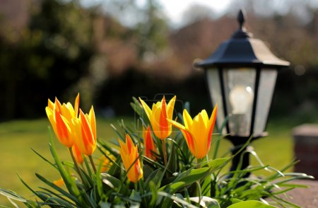 Photo for Beautiful yellow and red Tulips in a sunny English country garden in the Spring with garden lamp or light in the background - Royalty Free Image