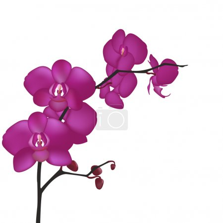 Illustration for Orchid Branch, Isolated On White Background, Vector Illustration - Royalty Free Image