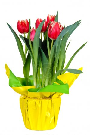 Photo for Pot of Tulips Isolated on White - Royalty Free Image