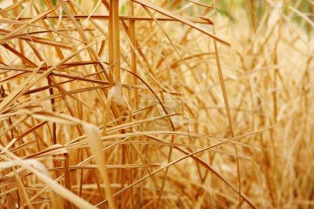 Photo pour Gros plan texture de fond de l'herbe sèche - image libre de droit