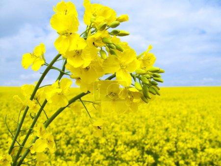 Photo pour Champ de colza oléagineux à fleurs - gros plan - image libre de droit