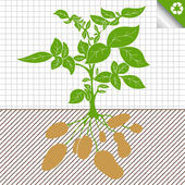 Potato plant bush vector concept background for poster