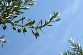 Natural green olives on the tree against the blue sky