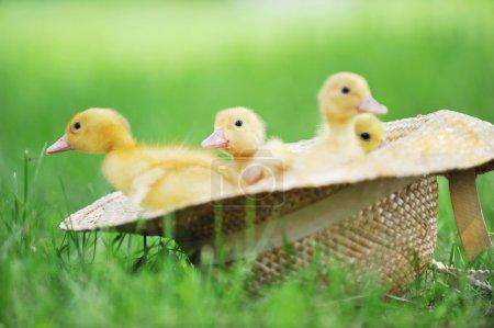 Foto de Tres lindos patitos esponjosos sentados en sombrero de paja - Imagen libre de derechos