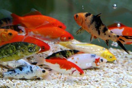 Photo pour Carpes koi colorées gros dans un aquarium - image libre de droit