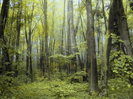 Photo pour Forêts mystiques été brumeux vert. - image libre de droit