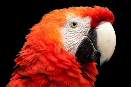 Bright Red Ara Macaw Bird Head Isolated On Black