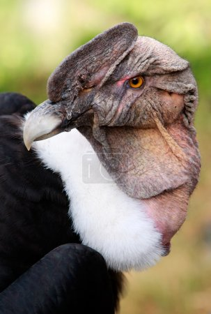 Photo for The Andean Condor Is A Large Black Vulture With A Ruff Of White Feathers Surrounding The Base Of The Neck And Especially In The Male Large White Patches On The Wings - Royalty Free Image