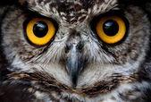 Owl Bird Face Close Up