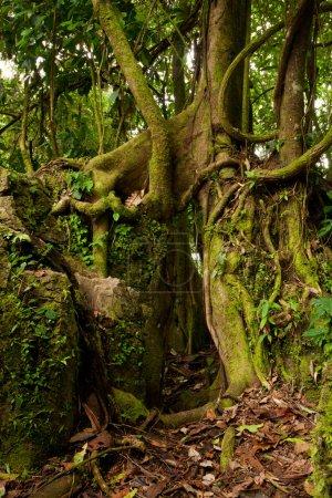 Photo pour La plupart des Stranglers sont membres de la famille de la Fig en espagnol, qu'ils sont connus comme arbre de tueur de Matapalo - image libre de droit