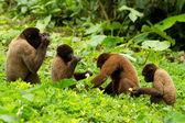 Chorongo Monkey Family