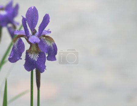 Violet iris flowers in rain in park