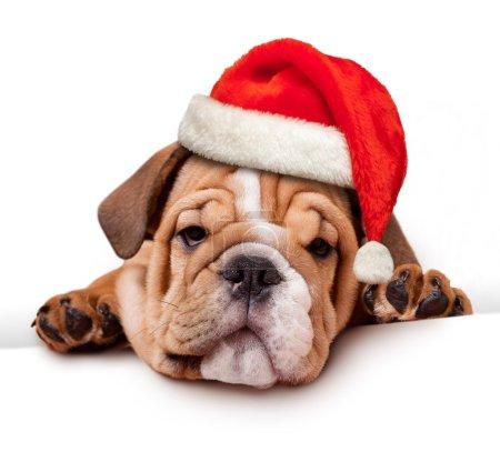 Foto de Bulldog con sombrero de santa en bandera blanca - Imagen libre de derechos