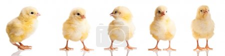 Chickens in differens poses isolated on white