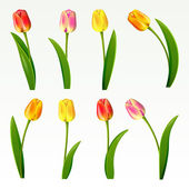 Set from eight tulips on a white background