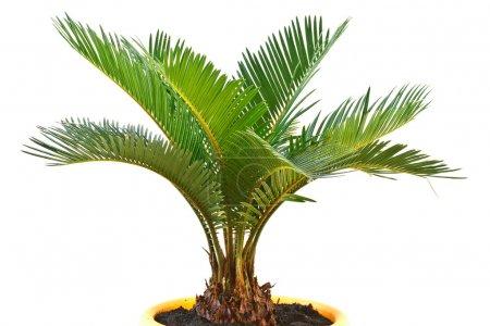 Photo for Sago palm tree isolated on white background - Royalty Free Image