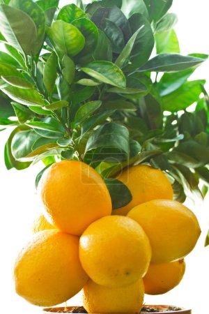 Photo for Good crop of lemons on the lemon tree - Royalty Free Image