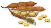Soybean Realistic vector illustration