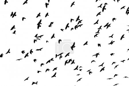 Foto de Flight of black birds on a white background - Imagen libre de derechos