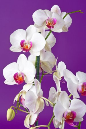 Closeup of a beautiful white orchid flowers