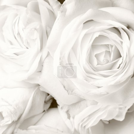 White roses in close up - romantic background...