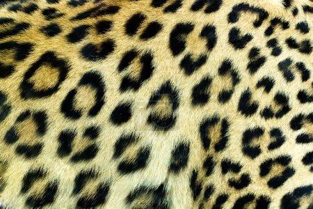 Snow Leopard Irbis (Panthera uncia) skin texture