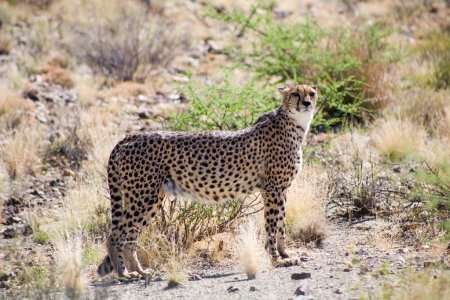 Cheetah in a game reserve in Namibia...