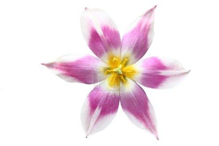 Photo pour Gros plan d'une seule fleur de tulipe sur fond blanc - image libre de droit