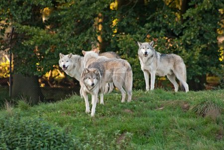 Photo for Pack of wolves (С. Lupus) in the glade - Royalty Free Image
