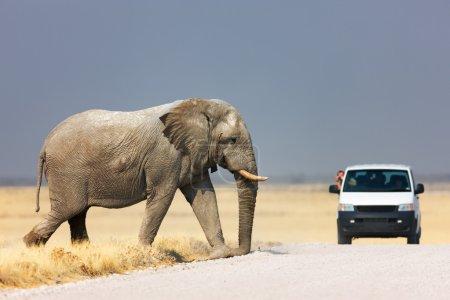 Photo pour Touriste penché hors du véhicule pour photographier un éléphant marchant sur la route ; Etosha - image libre de droit