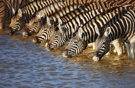 Photo for Herd of zebras drinking water in Etosha; Equus burchell's - Royalty Free Image