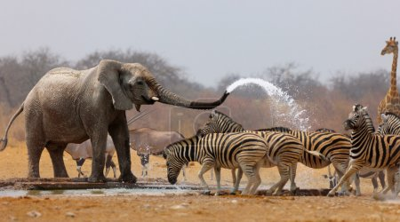 Photo for Elephant spraying zebras with water to keep them away from waterhole - Royalty Free Image