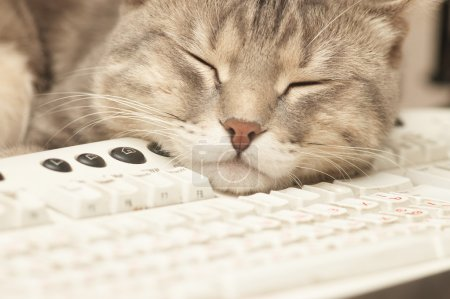 Photo pour Pause au travail : chat dormant au clavier - image libre de droit