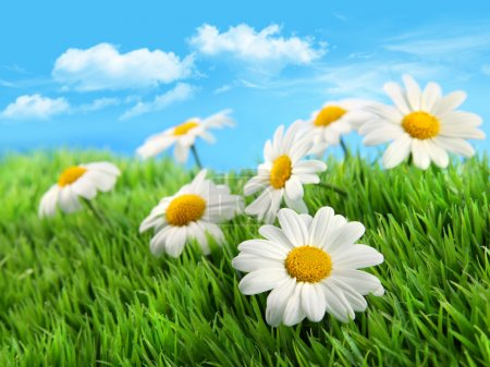 Photo for Little daisies in grass against a blue sky - Royalty Free Image