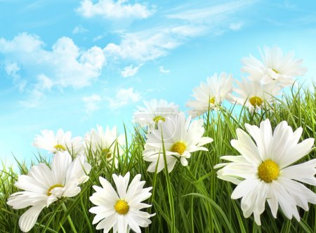 Photo for White summer daisies in tall grass with blue sky - Royalty Free Image