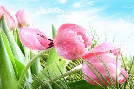 Photo pour Gros plan de tulipes printemps rose contre le ciel bleu - image libre de droit