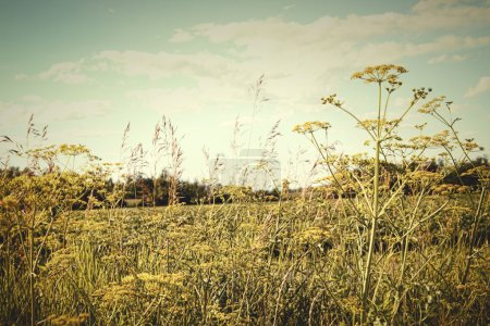 Photo for Field of wild dill in the afternoon sun with vintage look - Royalty Free Image