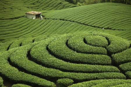 Photo pour Ba gua jardin de thé au milieu de taiwan, c'est le très célèbre quartier connu pour la cueillette du thé à la main - image libre de droit