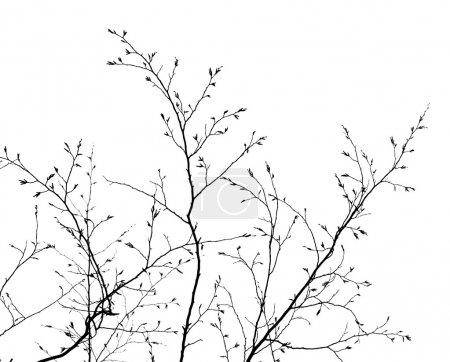 Photo pour Branches d'un arbre sans feuilles au printemps sur fond blanc - image libre de droit