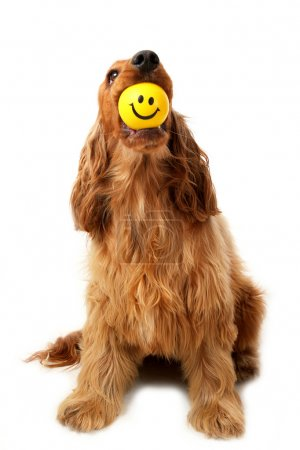 Photo for Cocker Spaniel with smiley face ball in her mouth - Royalty Free Image