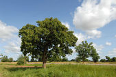 Karitè tree