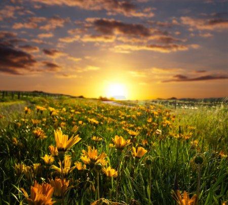Photo pour Printemps avec le lever ou le coucher du soleil sur un champ de fleurs - image libre de droit