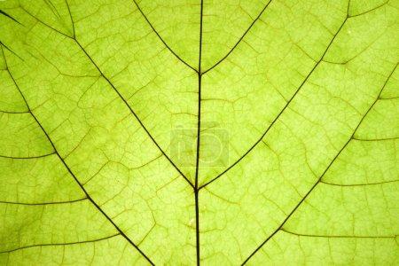Photo pour Texture verte feuille sèche détail - image libre de droit